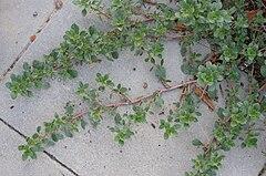 240px amaranth blit kz1