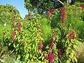 Amaranthus Caudatus Monceau.JPG