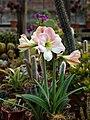 Amaryllis 'Apple Blossom' in cactus house Victorian walled garden Quex House Birchington Kent England.jpg