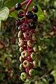 American Pokeweed (Phytolacca americana) - Kitchener, Ontario 02.jpg