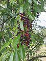 Amerikaanse vogelkers bessen Prunus serotina.jpg