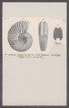 Ammonites dentatus - - Print - Iconographia Zoologica - Special Collections University of Amsterdam - UBAINV0274 091 01 0039.tif
