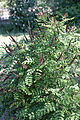 Amorpha ouachitensis - Floraison.jpg