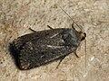 Amphipyra tragopoginis - Mouse moth - Совка козлобородниковая (41013667532).jpg