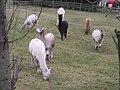 "An "" Inflation"" of Alpacas - geograph.org.uk - 1090371.jpg"