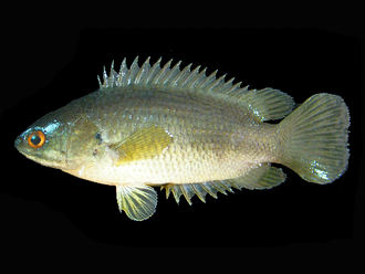 Anabantiformes - Climbing Perch (Anabas testudineus)