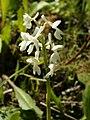 Anacamptis longicornu var. alba (flowers).jpg