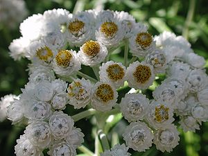 Flowers of pearly everlasting Anaphalis margar...