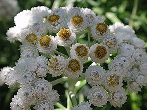 Flowers of pearly everlasting Anaphalis margar...