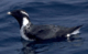 Ancient Murrelet.png