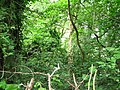 Ancient woodland at Greenmeadow - geograph.org.uk - 488087.jpg