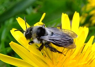 Ashy mining bee species of insect