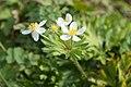 Anemone narcissiflora 35.jpg