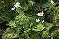Anemone narcissiflora 37.jpg