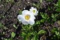Anemone sylvestris L.jpg