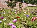 Anemones in National Trust gardens at Trengwainton - geograph.org.uk - 469854.jpg