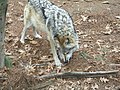 Angry wolf (7613220536).jpg