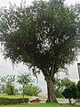 Angsana tree 5.jpg