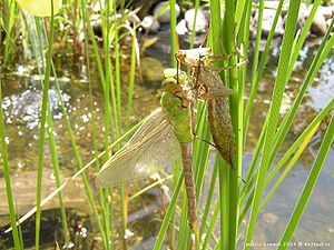 molting (moulting) dragonfly