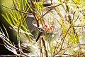Anna's hummingbird (48076012983).jpg