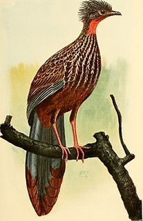 Band-tailed guan species of bird
