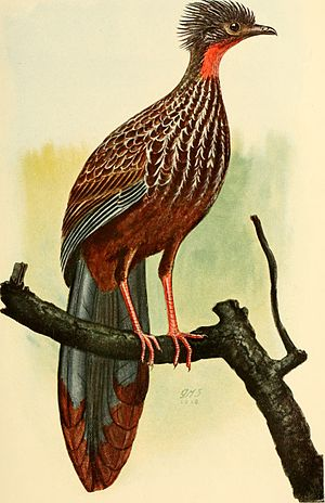 Band-tailed guan - Penelope argyrotis colombiana