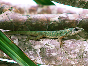 Description de l'image Anolis aeneus on tree branch.jpg.