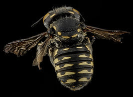 Anthidium maculifrons, Female, Back, Florida, St Johns County 2013-01-25-15.44.54 ZS PMax.jpg