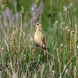 Anthus nattereri - Ochre-breasted Pipit.JPG