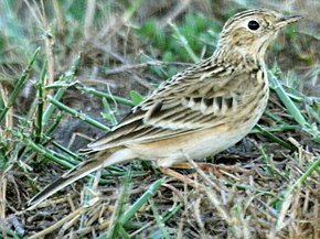 Description de l'image Anthus spragueii, Harlingen, Texas 2.jpg.