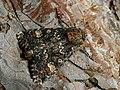 Apamea rubrirena - Полевая совка краснопочечная (40222451245).jpg