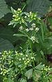 Apium graveolens var. rapaceum flowering.jpg