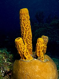 Aplysina fistularis (Yellow Tube Sponge).jpg