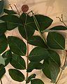Apocynum androsaemifolium.jpg
