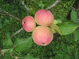 Apple on the tree.JPG