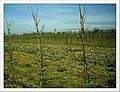 April Apple Frühling Denzlingen - Master Seasons Rhine Valley 2013 - panoramio.jpg
