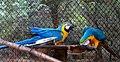 Ara glaucogularis macaw IGZoopark Visakhapatnam (2).JPG