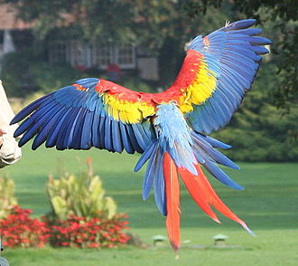 Scarlet macaw - Image: Ara macao flying away 8a