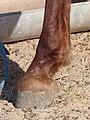 Arabian-berber horse foot, Tozeur 01.jpg