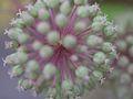 Aralia cordata, flower 01.jpg