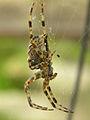 Araneus diadematus - Kreuzspinne von der Seite.jpg