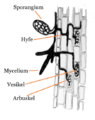 Arbuscular mycorrhiza cross-section-da.png