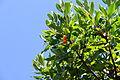Arbutus unedo - Frutti 3.JPG
