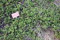 Arctostaphylos uva-ursi - Regional Parks Botanic Garden, Berkeley, CA - DSC04378.JPG