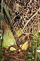 Arecales - Sabal bermudana - 4.jpg