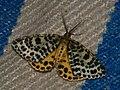 Arichanna melanaria - Пяденица голубичная (40879155852).jpg
