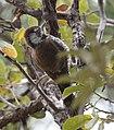 Arizona Woodpecker (33807406461).jpg