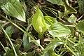 Arum maculatum en baie de Saint Brieuc.jpg