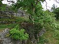 Ash tree growing out of a limestone outcrop. - geograph.org.uk - 552992.jpg