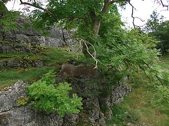 Holme, Cumbria - Image: Ash tree growing out of a limestone outcrop. geograph.org.uk 552992
